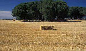 クエンカの麦畑